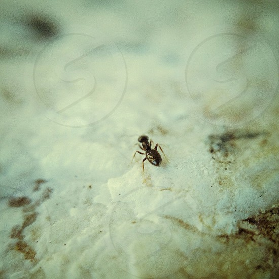 black carpenter ant photo