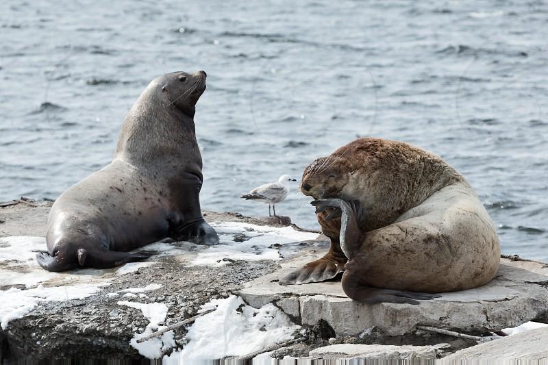 Nature of Kamchatka: rookery Steller Sea Lion or Northern Sea Lion (Eumetopias Jubatus). Russia Kamchatka Peninsula Avachinskaya Bay Petropavlovsk-Kamchatsky City. photo
