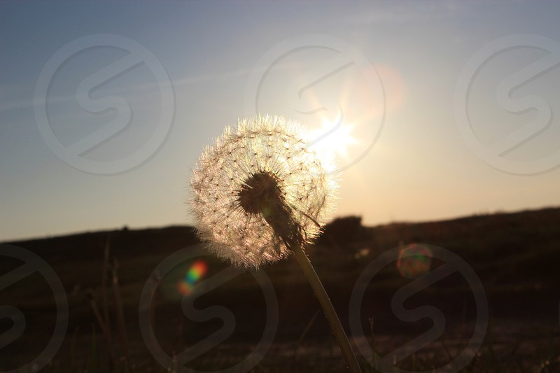 Dandelion in the sunset!  photo