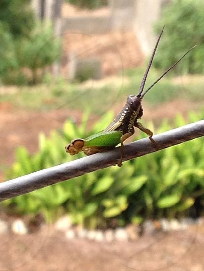 Grasshopper in Perez Zeledon Costa Rica photo