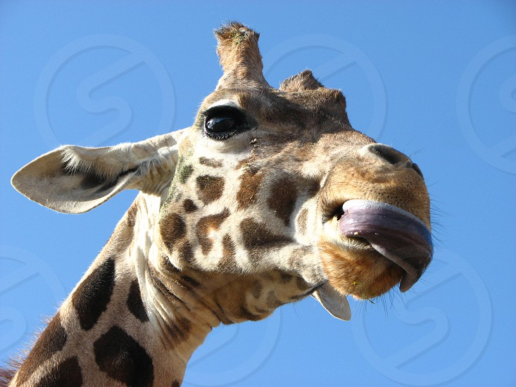 brown and white giraffe photo