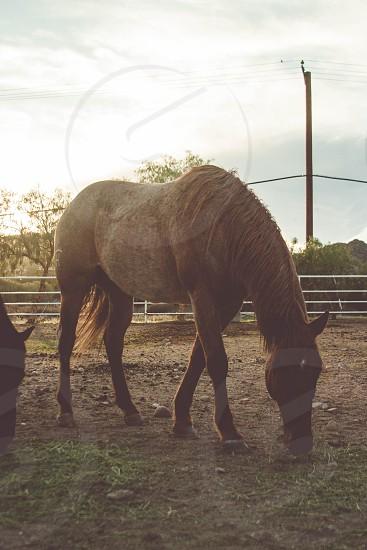 Tan horse feedin in the pen photo