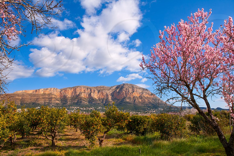 Mongo in Denia Javea in spring with almond tree flowers Alicante Spain photo