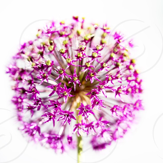 Colourful high contrast macro image of an Allum flower photo