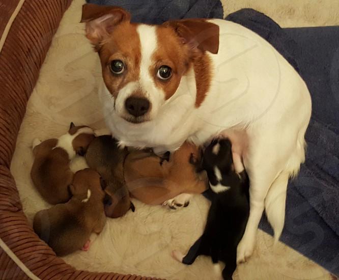 Jack Rusel puppies photo