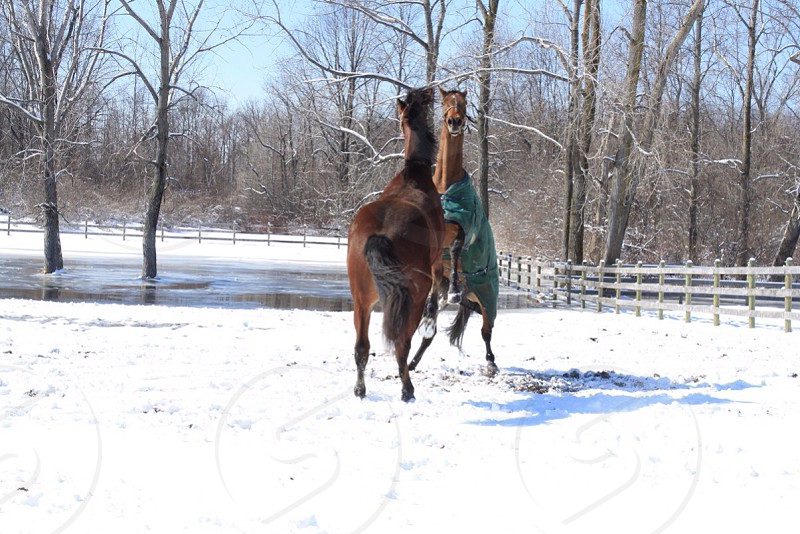 Two Brown Stallions in the Snow photo
