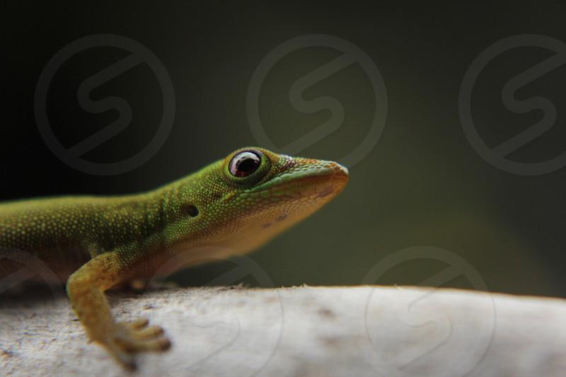 Macro Green Gecko resting on stick Hawaii Hawaiian photo
