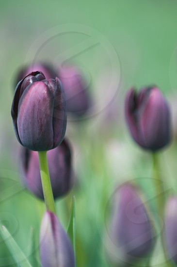 purple tulips flowers during daytime photo