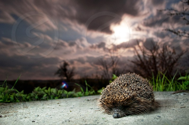 hedgehog in the night photo