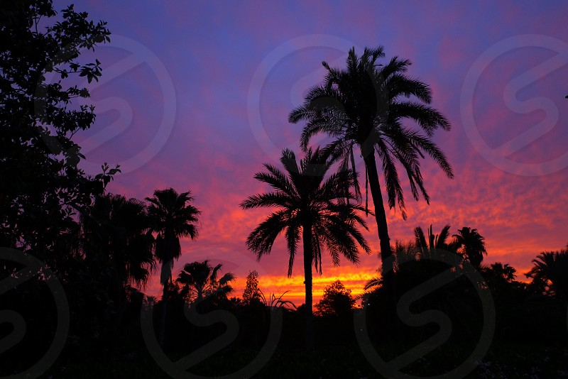 silhouette of palm trees and deciduous trees beneath blue pink orange cloudy sky photo