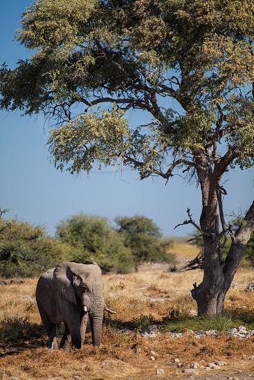 Elephant walking through Khwai Botswana. photo