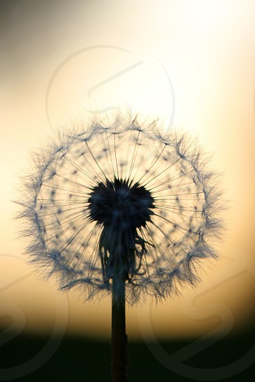 dandelion seeds photo