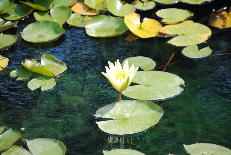 Lilypad photo