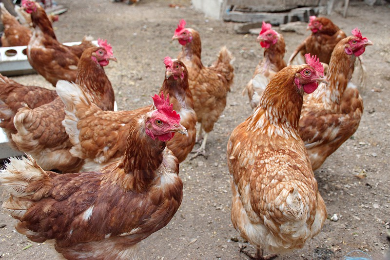 Closeup of chickens on the rural farm in Croatia photo