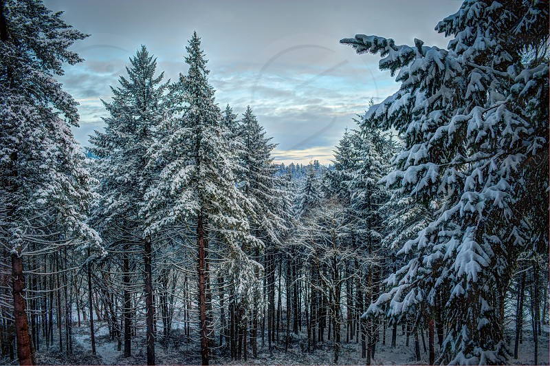 Winter Landscape Trees Forestsnow photo