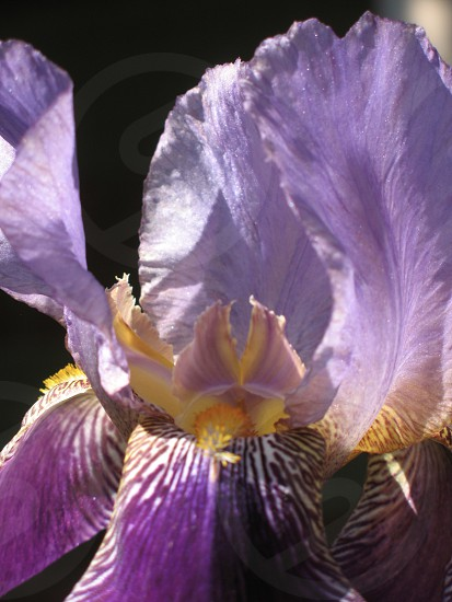 Closeup of purple lilac and yellow iris with black background photo