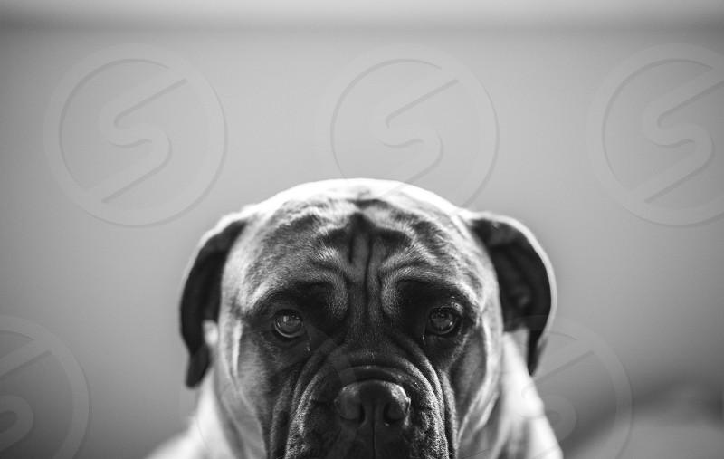 large mastiff photo