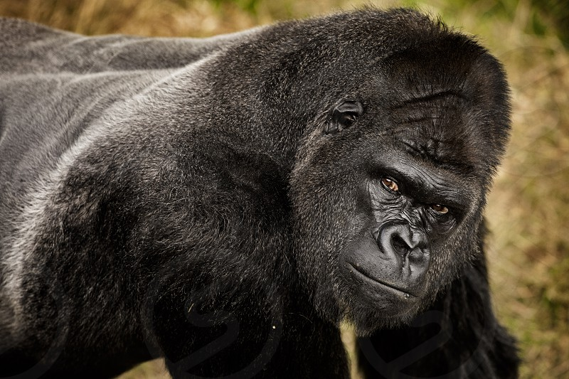 A western lowland gorilla looks up to investigate a camera.  captive photo