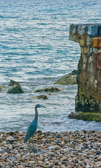 Heron by the sea in Jamaica photo