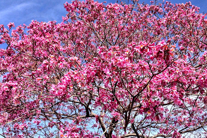 Blooming  tyee with pink flowers photo