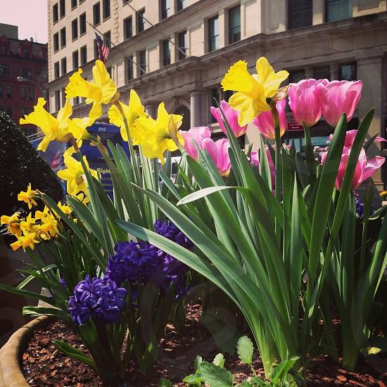 daffodils flower plant photo