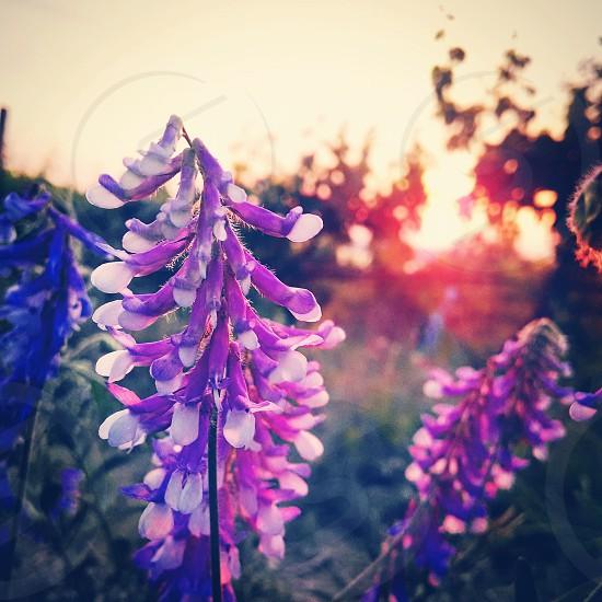 flowers sun purple photo