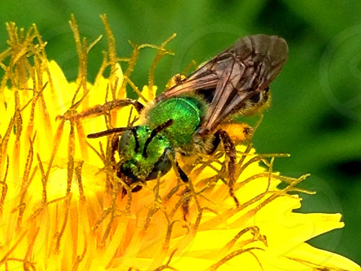 Green bee on a yellow flower  photo