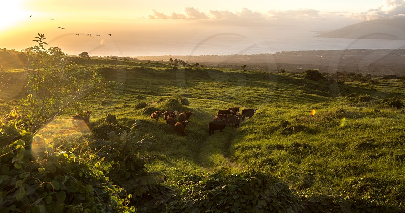 #greenpasturesinthehillsofmakawaomaui#birdsinflight#cowsroaming#sunsetting#sunbursts photo