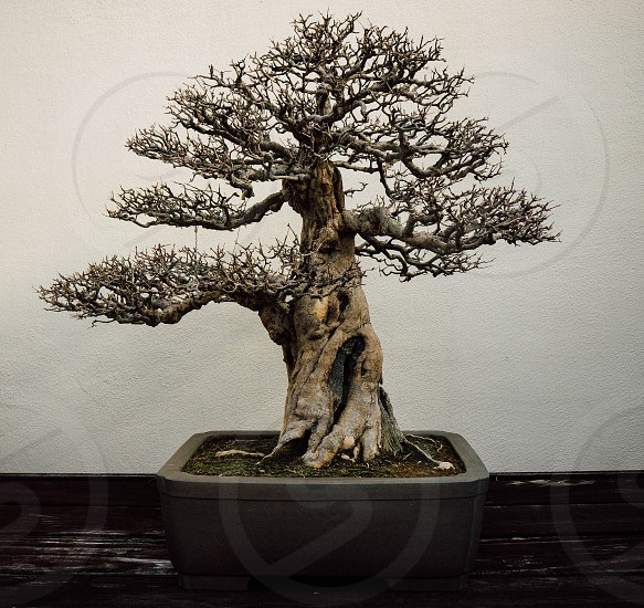 pomegranate bonsai tree garden pot soil branches Chinese Japanese art ancient growth trunk plant patience photo