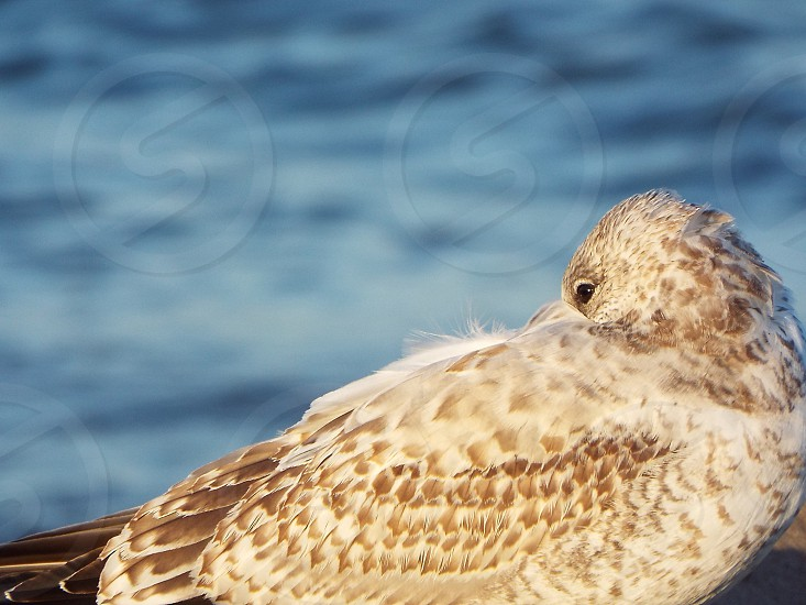 Seagull side view rest looking eye mottled juvenile young herring gull wing closeup zoom feathers waves water lake sea ocean Lake Michigan Kenosha tucked warmth windy cold selective focus blurred background pattern no people nobody outdoors bird animal wildlife nature habitat shore beach single one photo