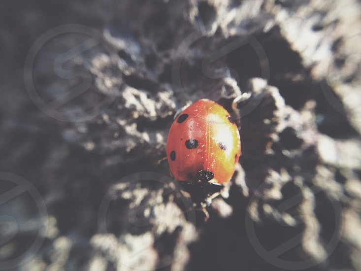 red and black ladybug in closeup photo photo