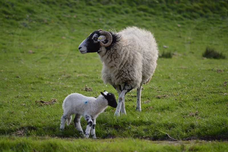 white ram with kid on green grass photo