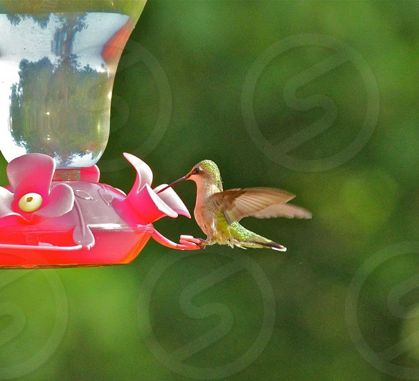 Hummingbird feeding photo