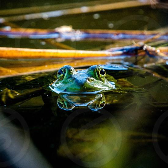 New frog. Freeport Maine photo