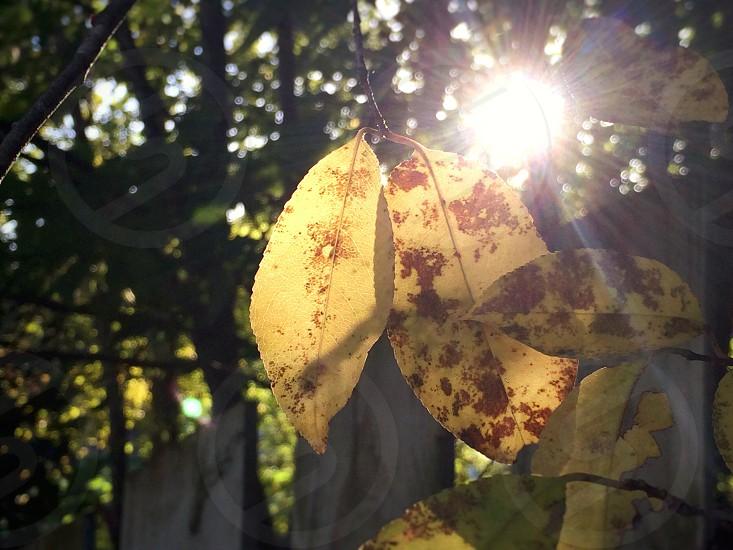 Magical morning sunlight shining through fall leaves photo