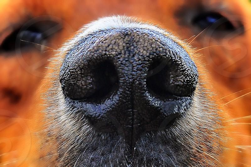 close up photo of tan short coat dog's snout photo