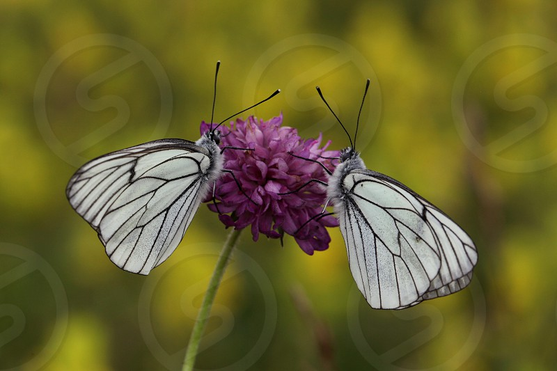selective focus photograph of 2 white and black butterflies on top of purple petaled flower during daytime photo
