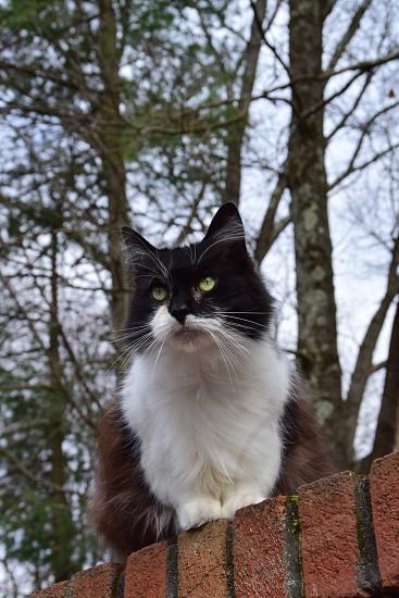 Cat Maine Coon Instinct Hunting Focused photo