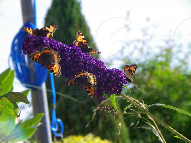 Red Admiral Butterflies photo