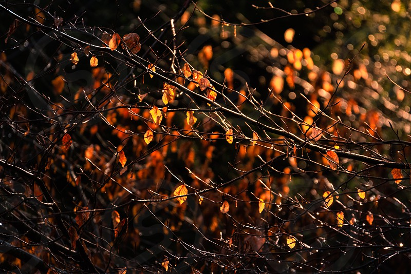 Intimate backlit scene of tree branch with golden leafs. photo