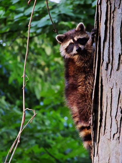Raccoon climbing a tree. Sneaking up a tree is more like it. photo