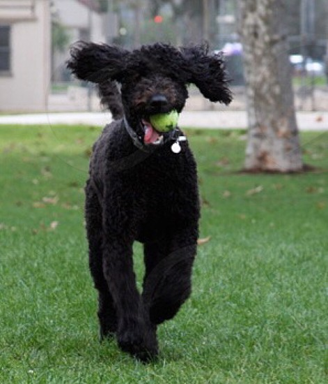 Dog park love fun poodle ball  photo