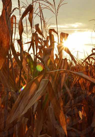 dried corn field photo