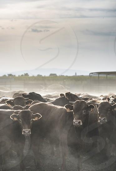 Calves in farm for veal.  photo