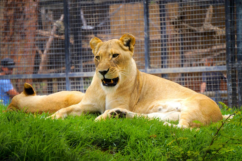 two lioness laying on green grass during daytime photo
