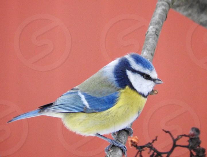 Bird blue tit photo