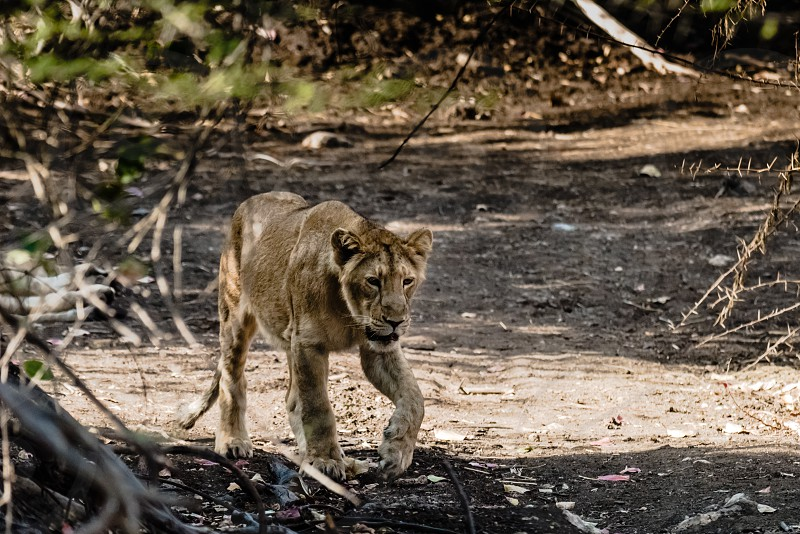 Sub-adult cub of asiatic lion from Gir forest approaching photo