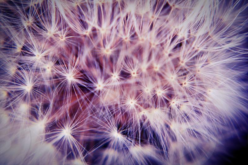 white dandelion close up photo