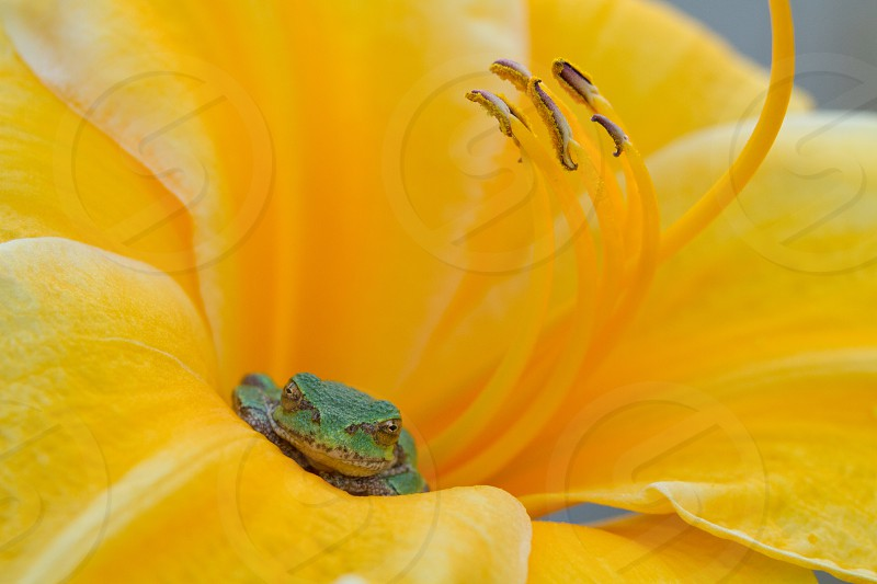 Green tree frog hiding in a bright yellow daylily photo