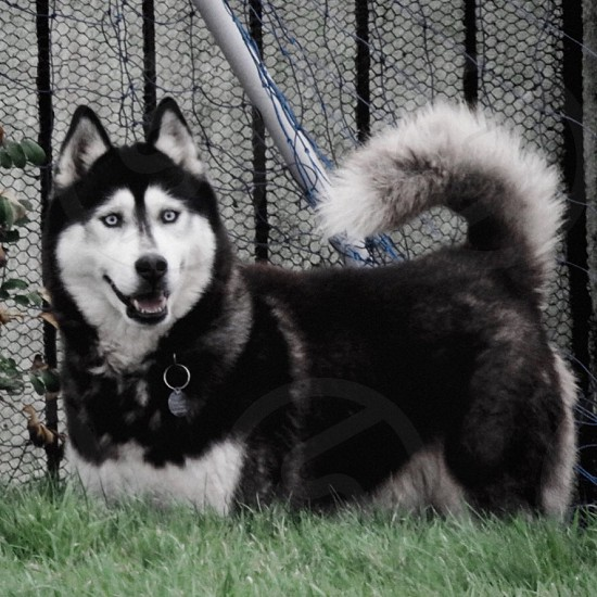 The husky Troy photo